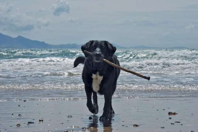 dog stick beach sea mountains Wales
