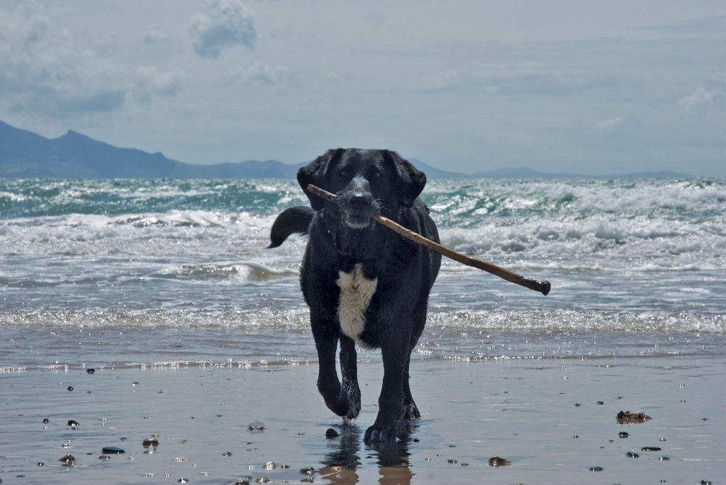 dog stick beach sea mountains Wales